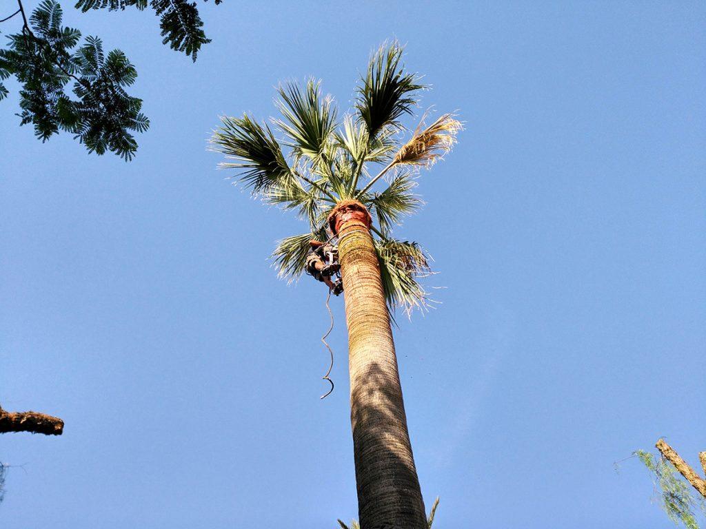 Palmen schneiden